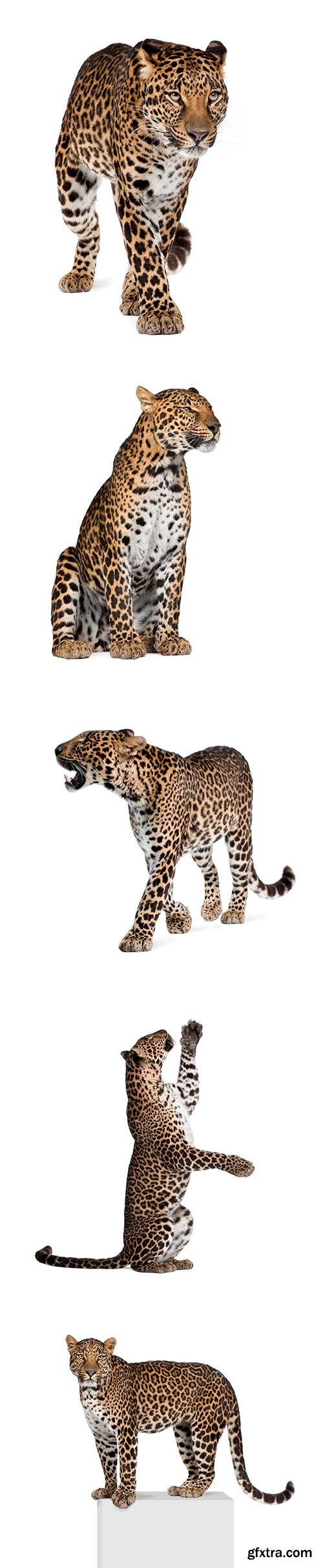 Leopard Isolated - 10xJPGs