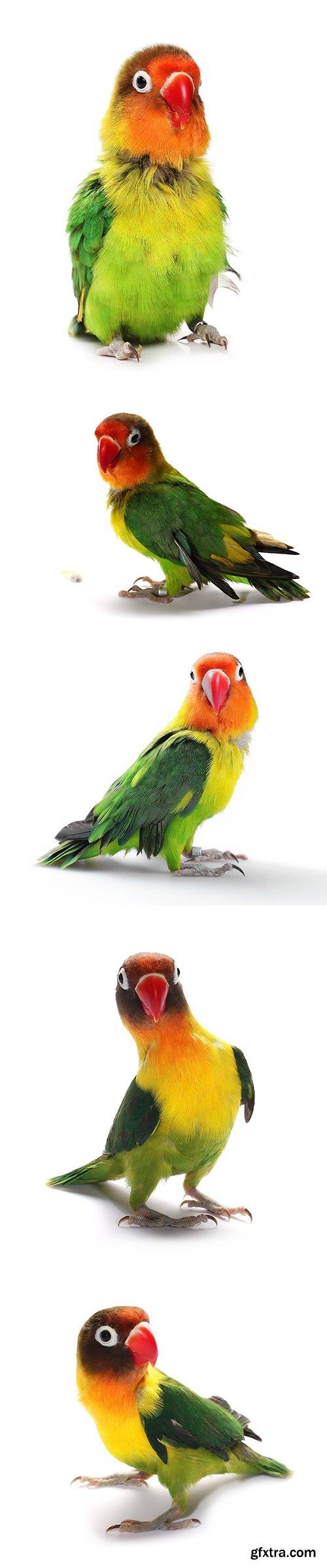 Lovebird Isolated - 15xJPGs