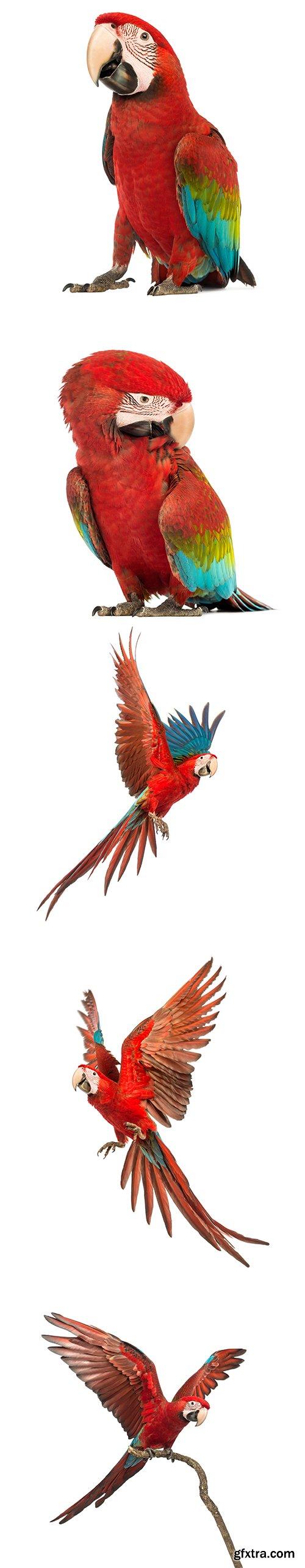 Macaw Isolated - 15xJPGs