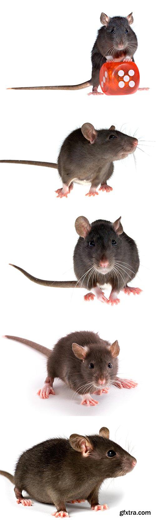 Rat Isolated - 11xJPGs