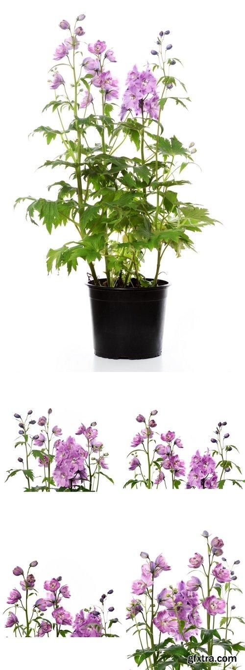 Stock Photos - Purple delphinium flowers