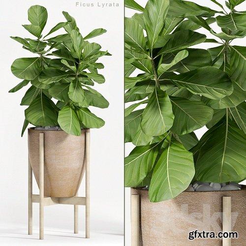 Ficus Lyrata (Plant 82)