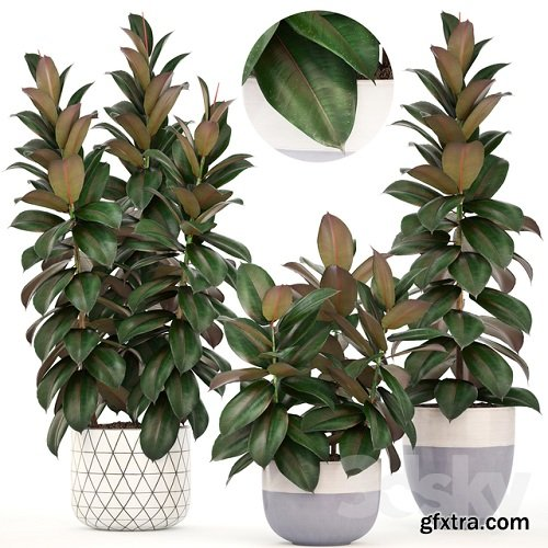 Collection of plants 204. Ficus elastica