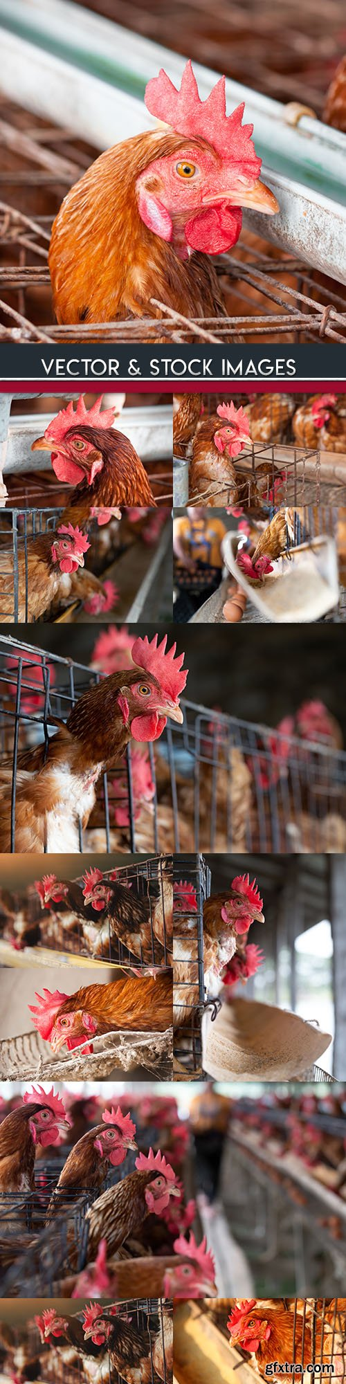 Hens farm and production of egg and meat