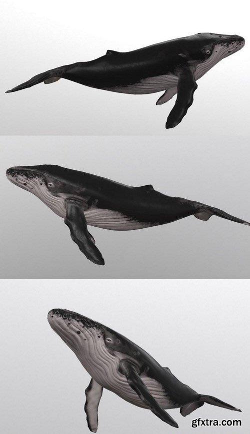 Whale – 3D Model