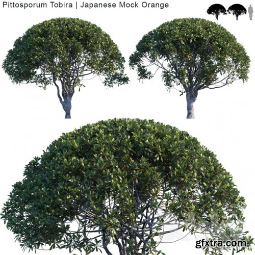 Pittosporum Tobira | Japanese Mock Orange var2 3D model