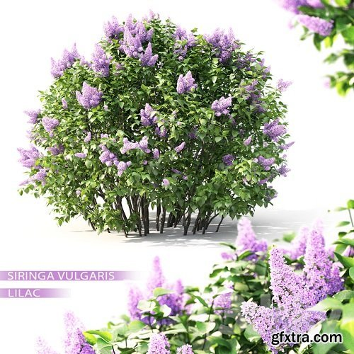 Lilac blooming №2