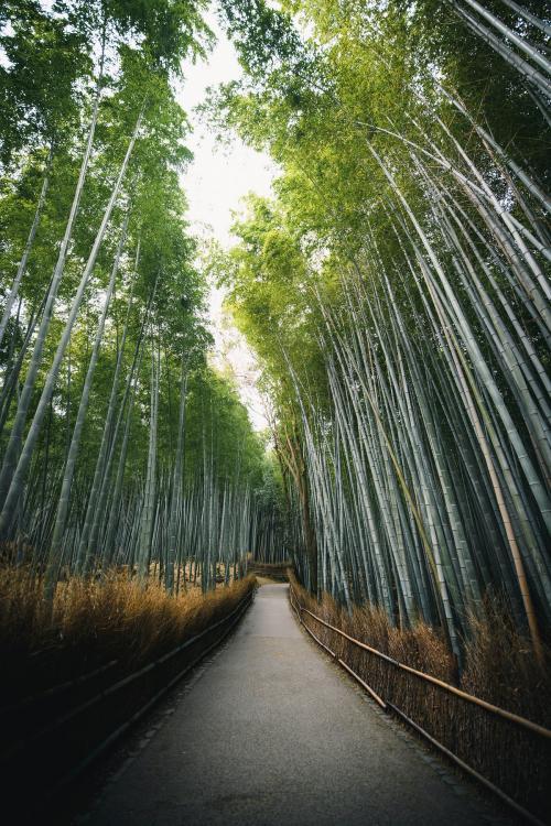 Bamboo forest in Arashiyama, Japan - 843932