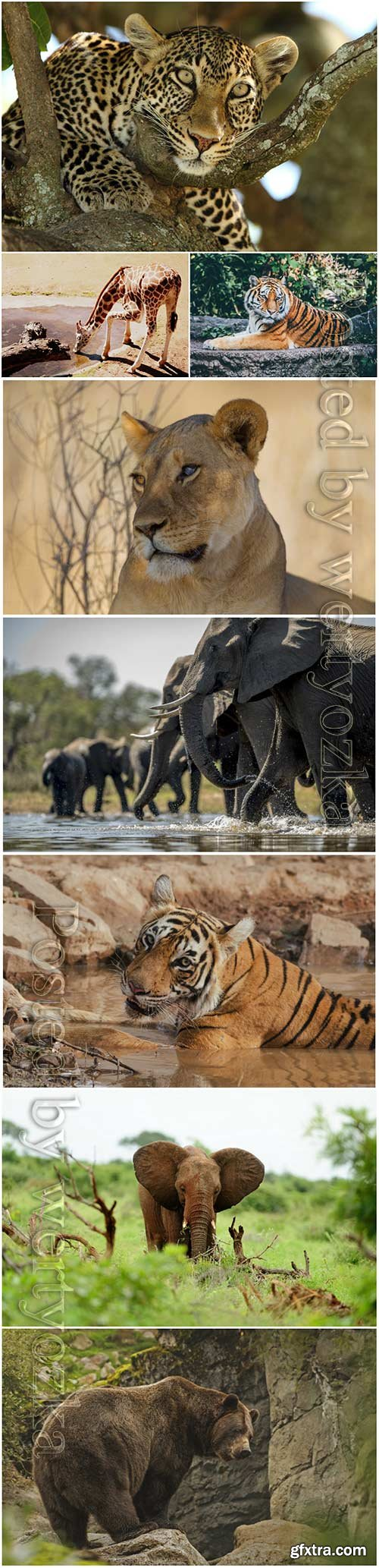 Animals, tiger, elephant, leopard, bear