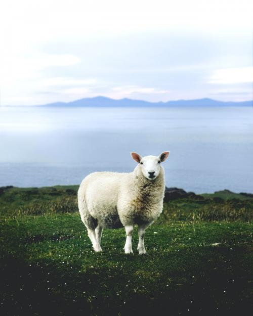 Fluffy white sheep in the grasslands of UK - 1017173