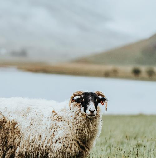 Scottish Blackface sheep at Talisker Bay on the Isle of Skye in Scotland - 1077873