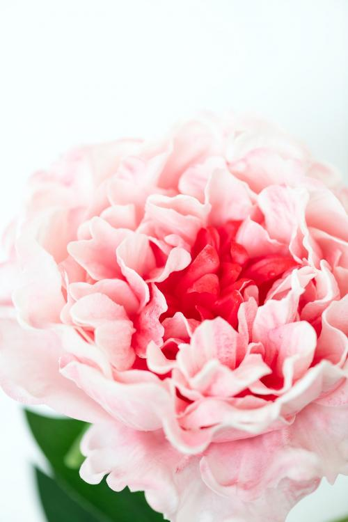 Closeup of pink peony on white background - 1204155