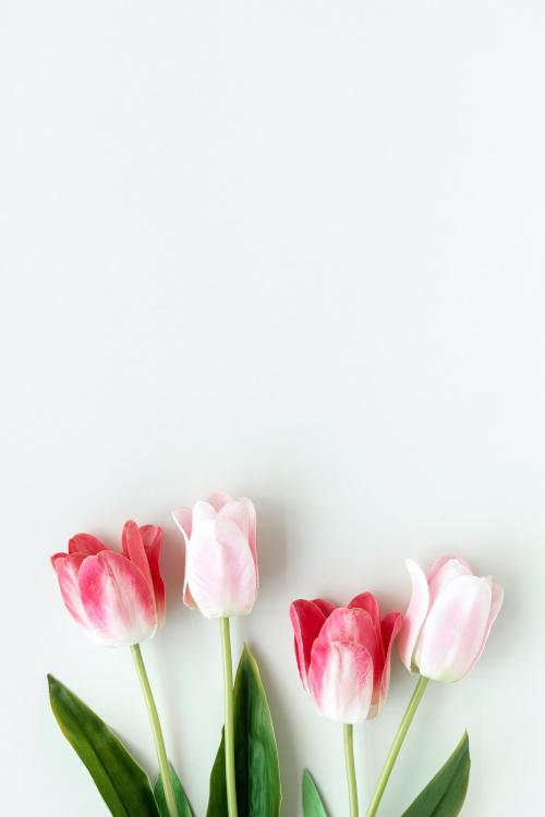 Pink tulips on blank white background template - 1204253