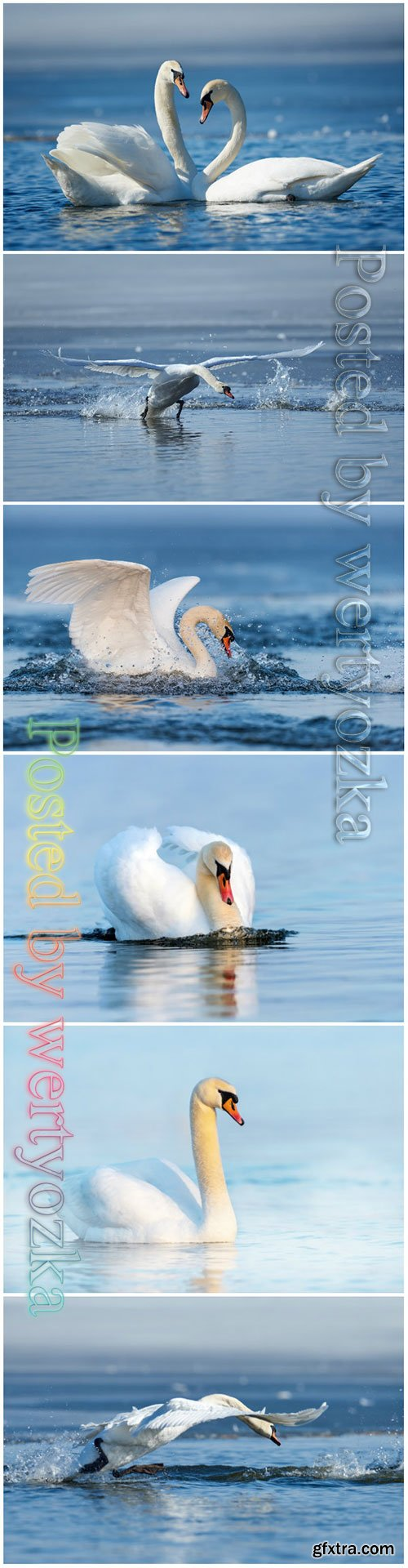 Beautiful swans stock photo