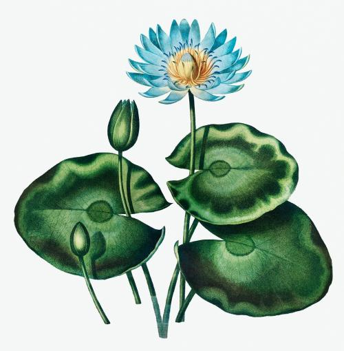 Vintage Blue Egyptian Water-Lily illustration - 1199351