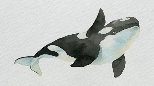 Watercolor painted killer whale on white canvas template - 2045398