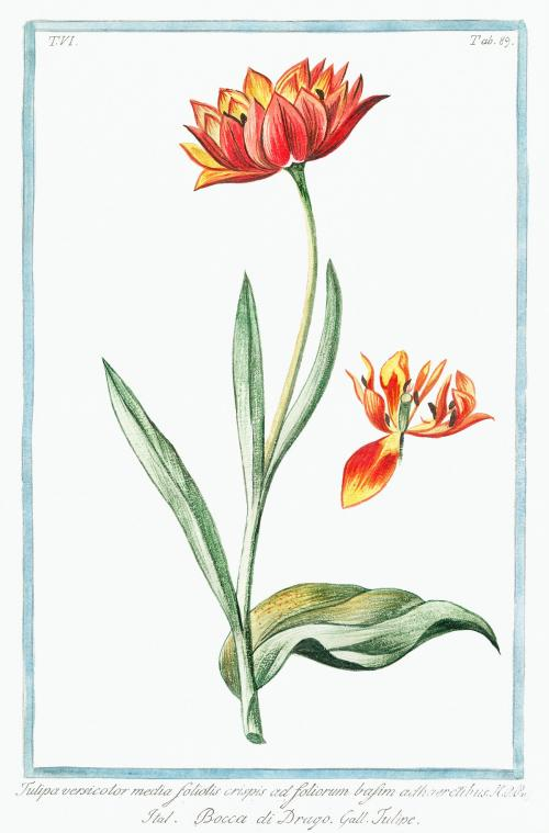 Multicolored Tulip flower illustration - 2054861