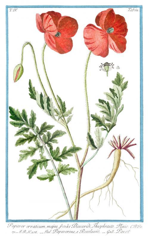 Red Papaver Rhoeas flower illustration - 2055694