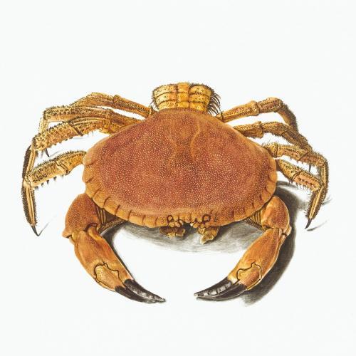 Vintage crab illustration - 2088674