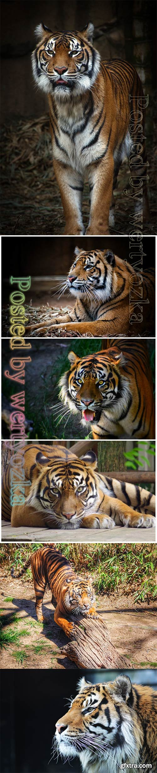 Tiger beautiful stock photo