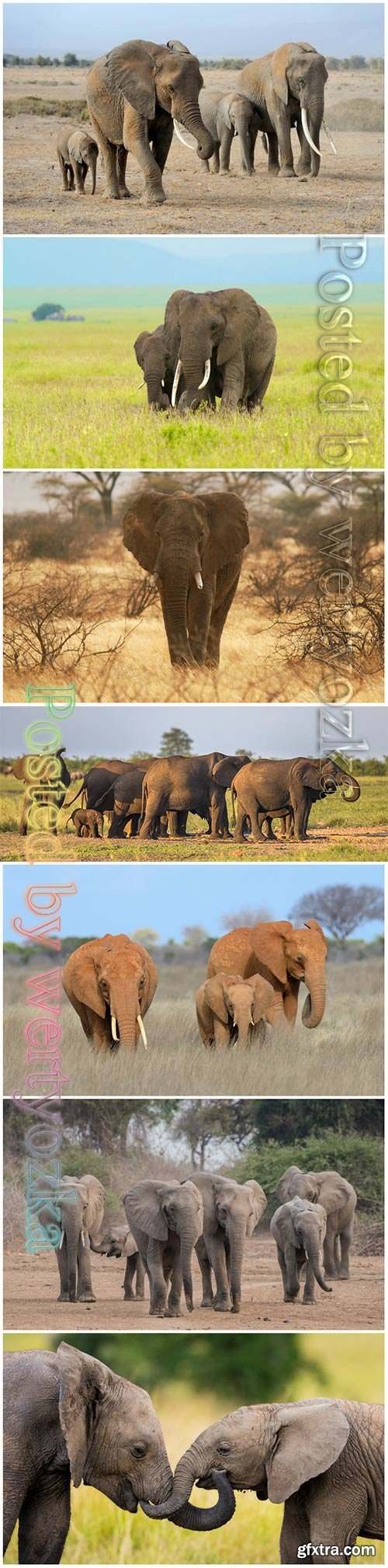 African elephants beautiful stock photo