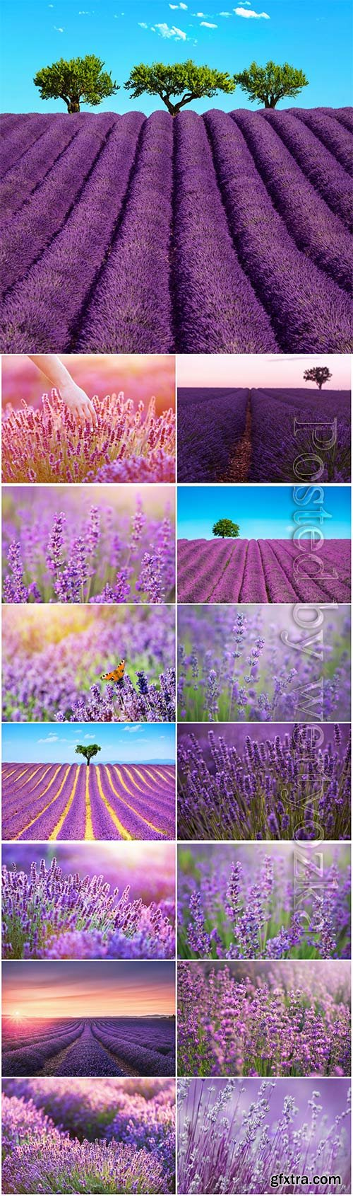 Fragrant lavender beautiful stock photo