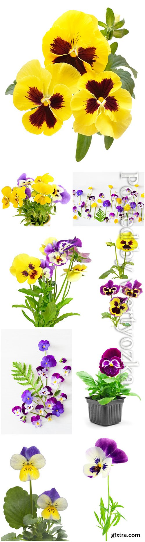 Beautiful pansies stock photo