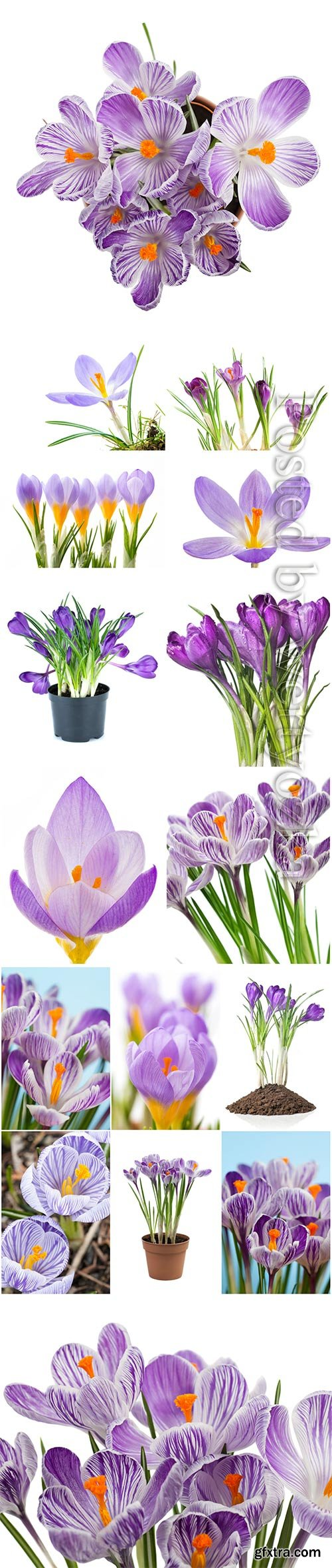 Beautiful crocuses stock photo