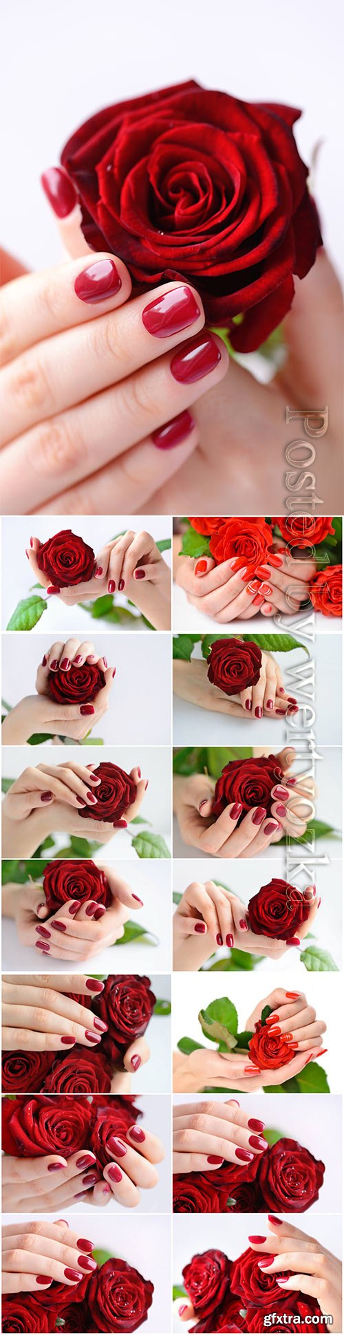 Manicure, female hands with a rose beautiful stock photo