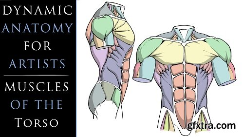 Dynamic Anatomy for Artists - Muscles of the Torso