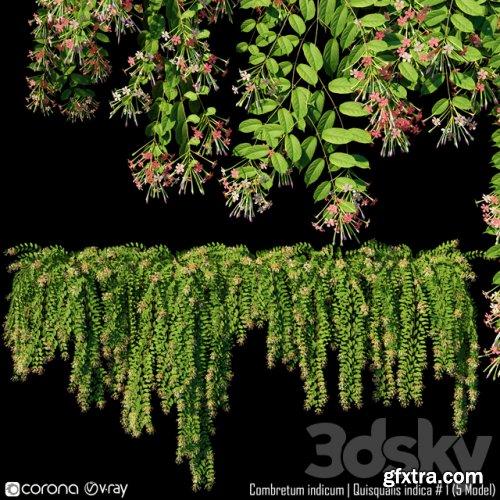 Combretum indicum | Quisqualis indica # 1 (5 Model)