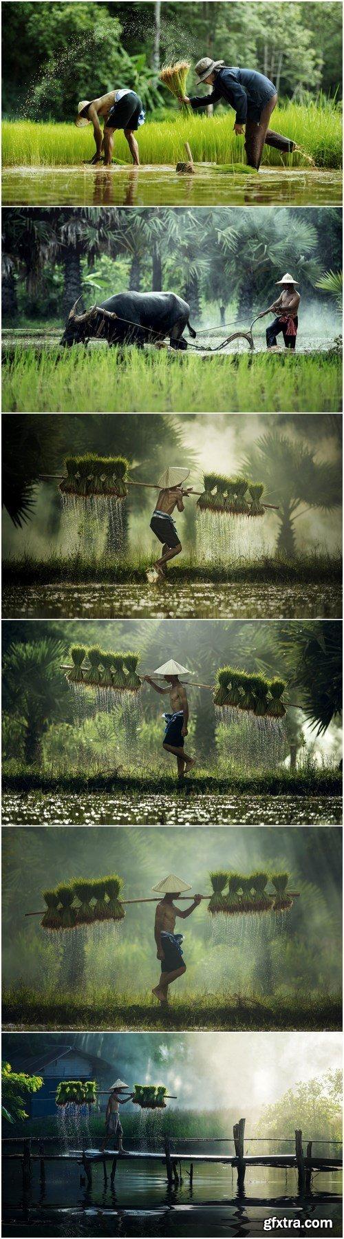 Asian farmer transplant rice seedlings in rice field - 6xHQ JPEG