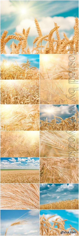 Ripe wheat fields stock photo