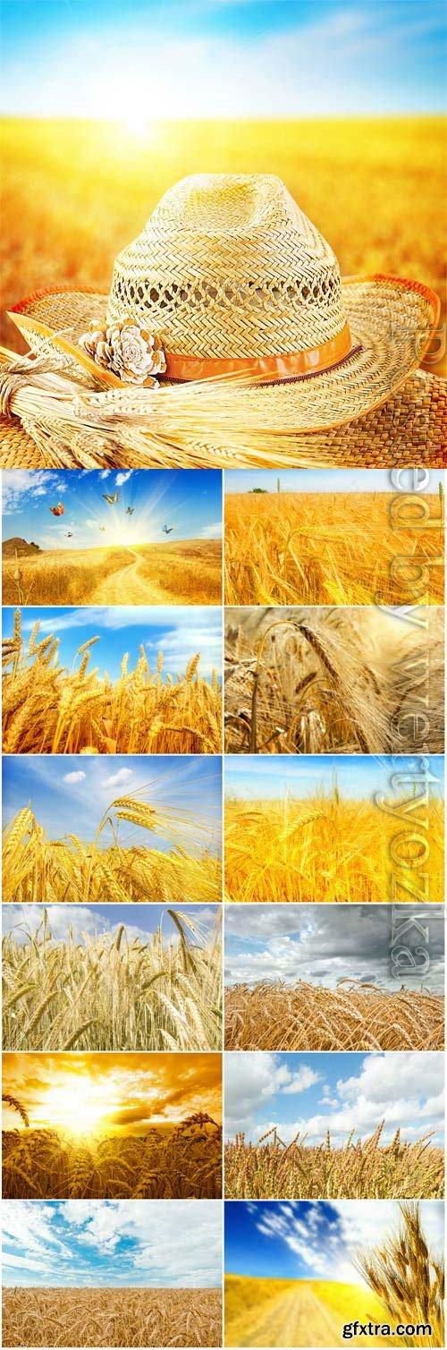 Ripe golden wheat field stock photo