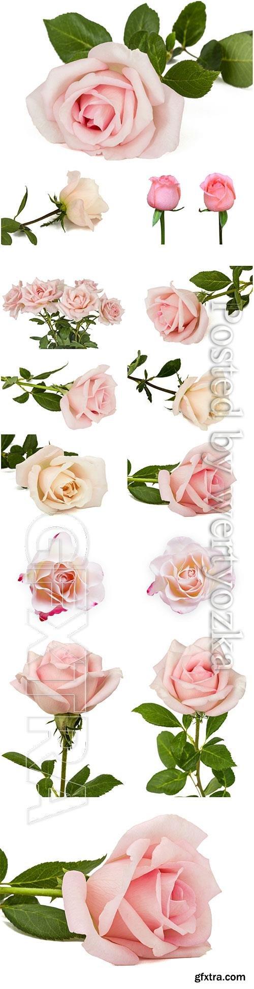 Luxury roses on white background stock photo