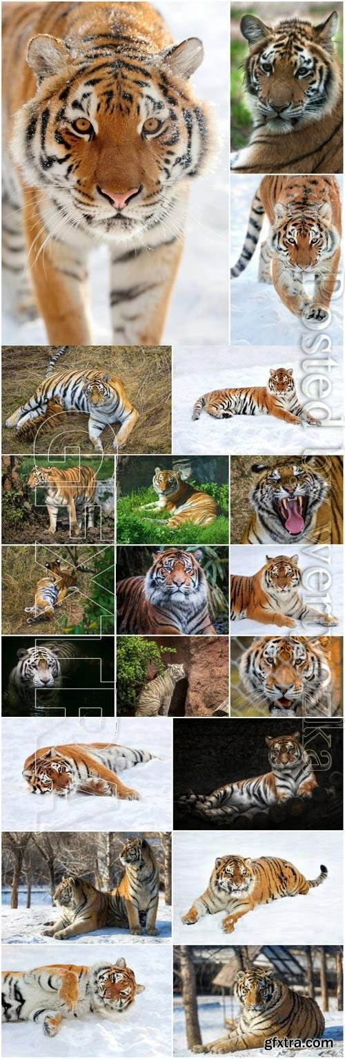 Tigers lovely set stock photo