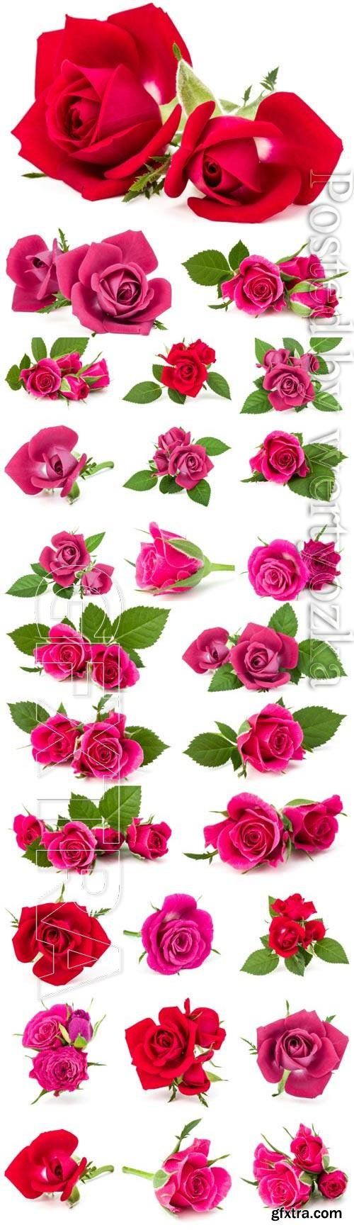 Red and pink roses on white background stock photo