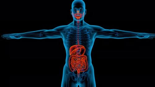 Videohive - Digestive System 3d man anatomy x-ray liver - 33720433 - 33720433