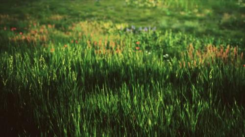 Videohive - Field with Green Grass and Wild Flowers at Sunset - 33848539 - 33848539