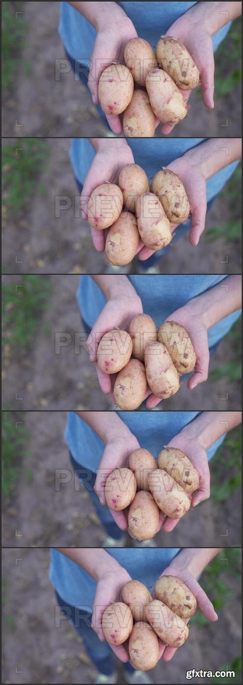 A Handful Of Potatoes 1025921
