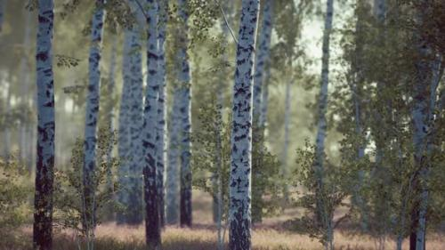 Videohive - Birch Forest in Sunlight in the Morning - 34136983 - 34136983