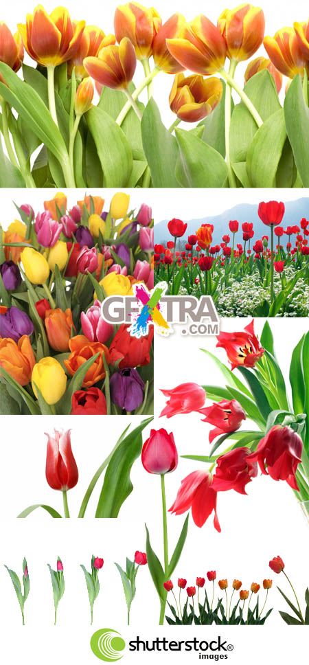 Shutterstock Tulips HQ (Part 2)
