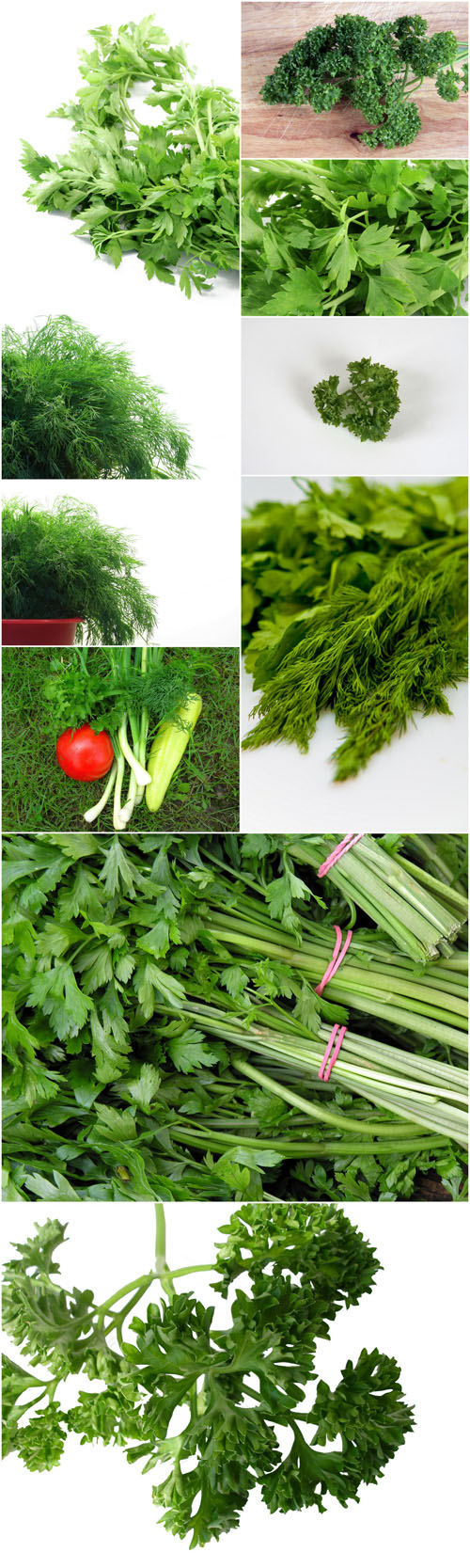Photo Cliparts - Parsley and dill