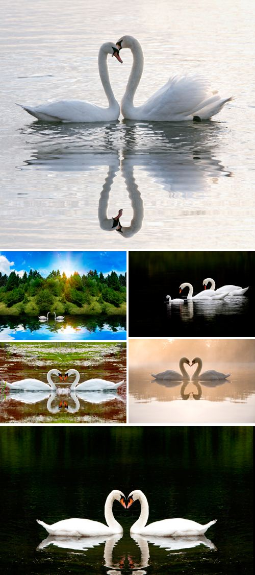 Stock Photo - Swans